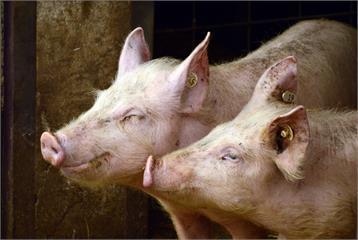超級「豬隊友」! 荷蘭「養豬防鳥」降低飛安事故