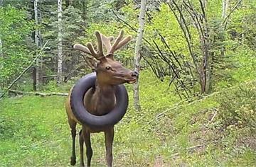 輪胎套頸生活2年 麋鹿斷鹿角拆輪胎重獲自由
