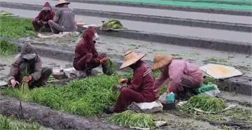「葉菜類不能撐」 菜農連夜冒雨搶收空心菜