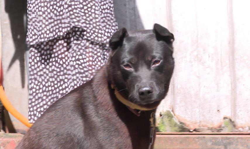 黑狗連續2個月攻擊女童和牠的柴犬。圖/台視新聞