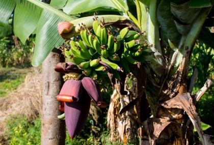 香蕉花無法治療高血壓,民眾勿聽信謠言。圖:常春月刊