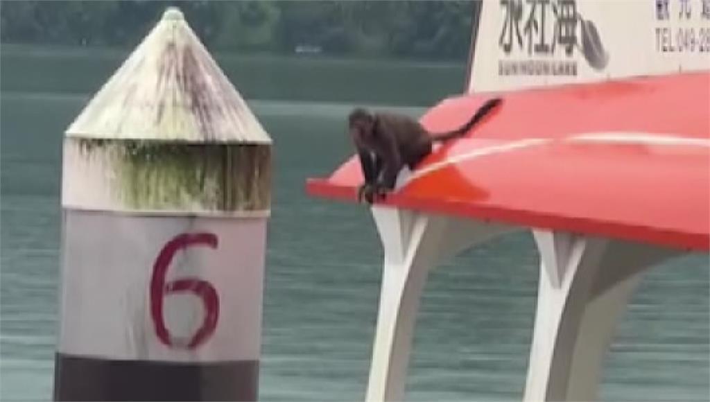 自從二級警戒開始到現在,日月潭遊艇都還沒開船營業,小猴子趁著人煙稀少跑上遊艇遊玩。圖/台視新聞
