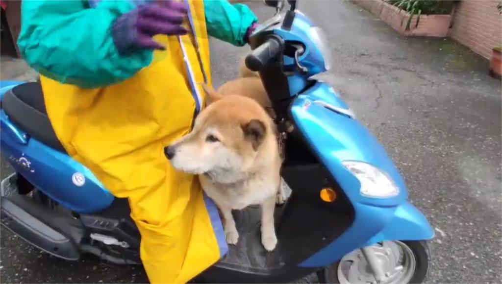 宜蘭一隻柴犬「豆漿」超愛搭附近鄰居的順風車。圖:台視新聞