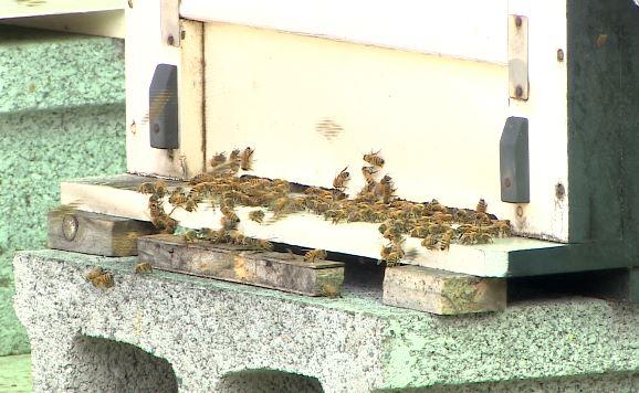 華航載運蜜蜂至溫哥華。圖/台視新聞