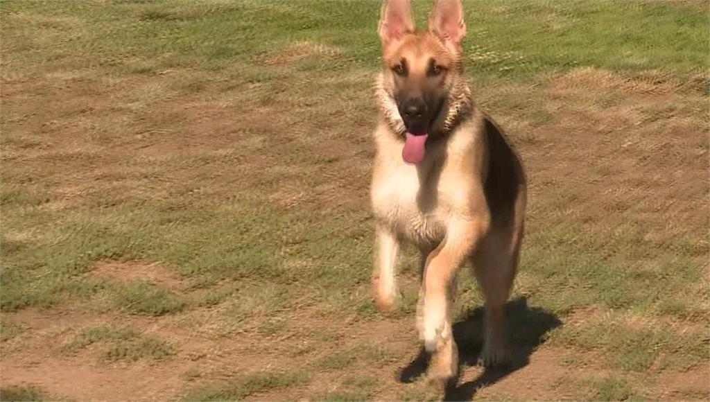 獸醫建議高溫烈日期間,帶狗狗散步活動時最好選擇草地等溫度較低處。圖/台視新聞