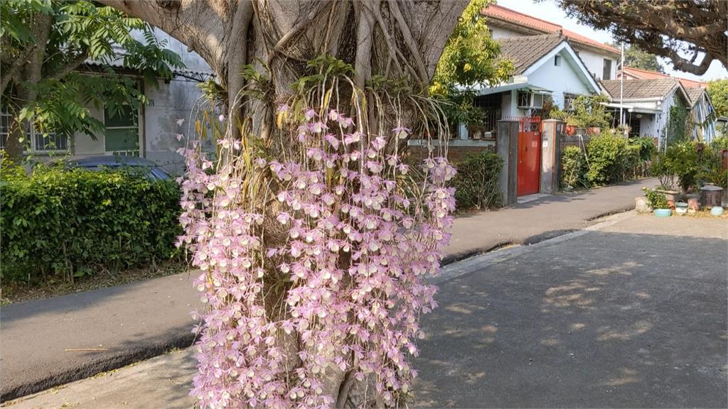 美翻!中興新村紫白瀑布蘭盛放 遊客朝聖打卡