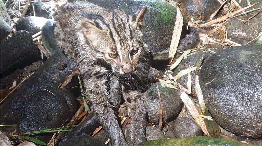 苗栗一隻石虎疑似「磷中毒」無法行走。圖:台視新聞