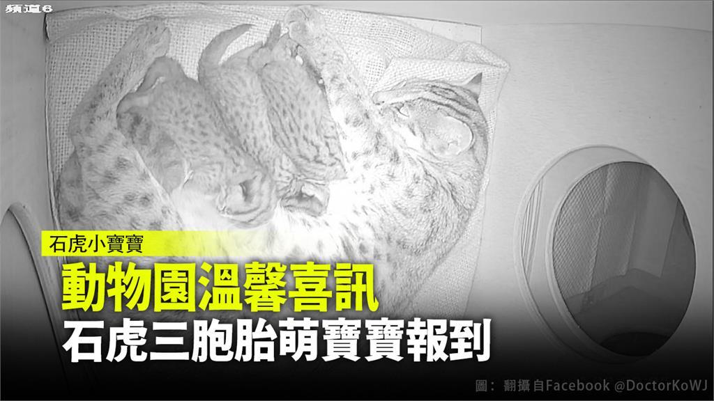 石虎媽媽「平平」平安生下3胞胎。圖:翻攝自柯文哲臉書