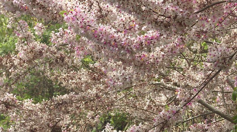 花旗木盛開。圖/台視新聞