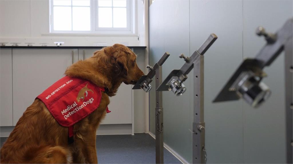 狗狗能從人體汗液檢體中嗅出新冠病毒的味道,加速快篩的進度。圖:AP