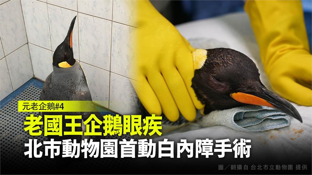 老國王企鵝眼疾,北市動物園首動白內障手術。圖/台北市立動物園提供