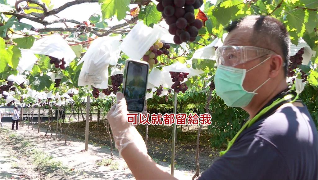 彰化溪湖葡萄進入盛產期,中盤商用「視訊」搶貨。圖/台視新聞