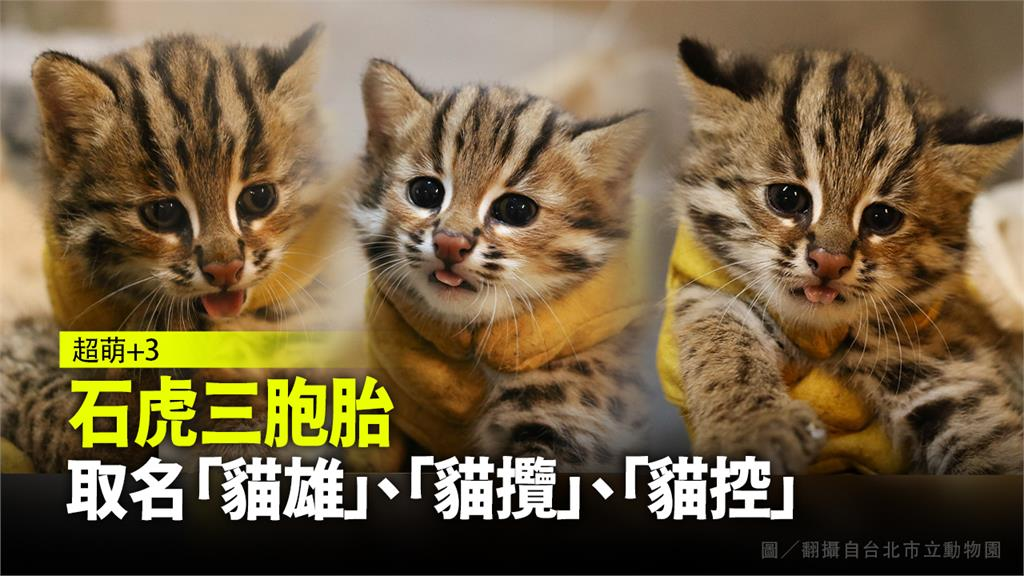 石虎三胞胎萌樣曝光!取名「貓雄」、「貓攬」、「貓...